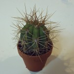 Trichocereus Terscheckii Live Plant by World Seed Supply