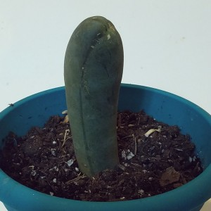 Long-Jointed Penis Plant by World Seed Supply.