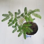 Mimosa Tenuiflora Live Plants by World Seed Supply