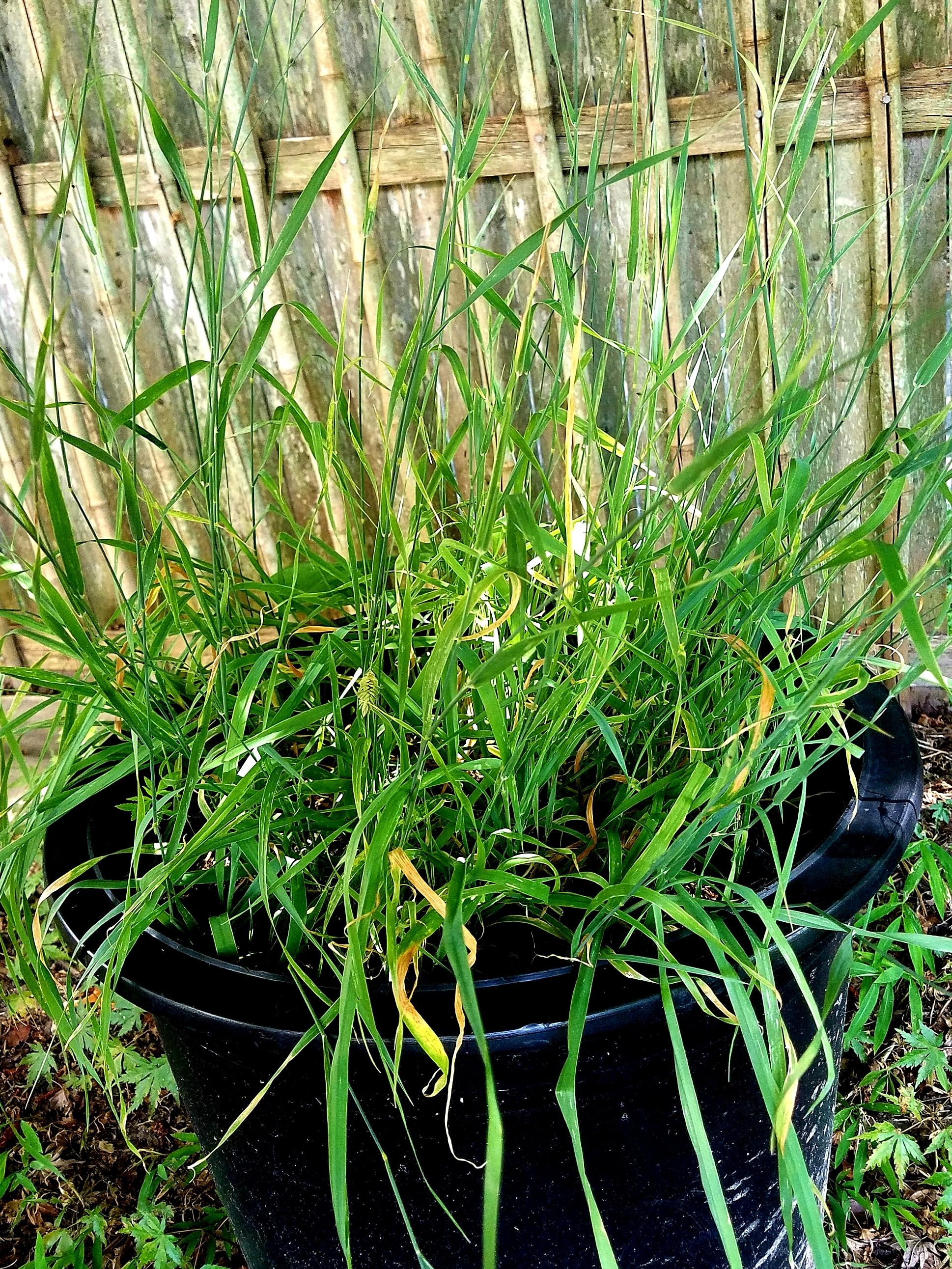 Phalaris Aquatica Live Plant World Seed Supply